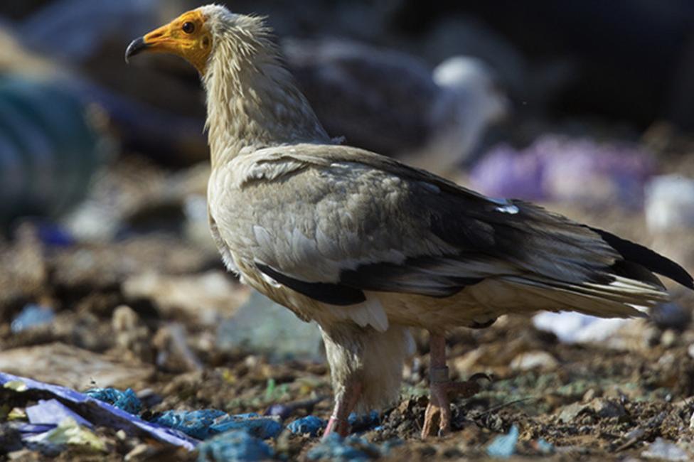 Egyptian vulture (c) Fran Trabalon