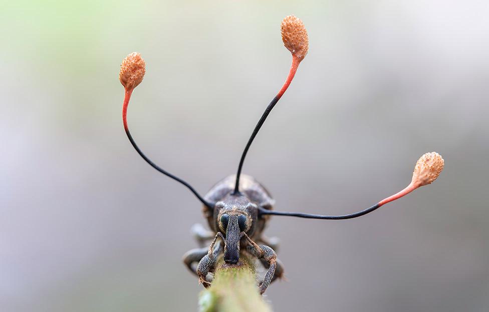La sorprendente foto de un escarabajo parasitado por un hongo