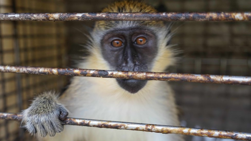 A caged monkey