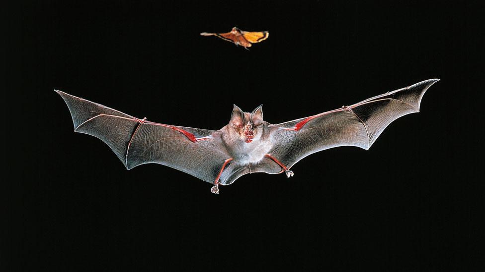 El murciélago grande de herradura chino en vuelo