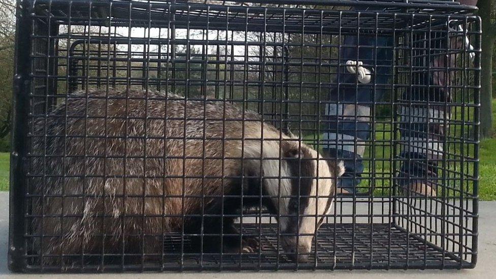 Half-blind badger rescued from Harlow skate park