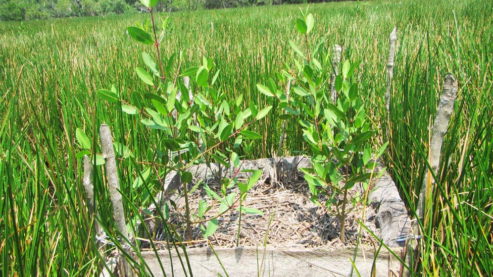 Plantas de mangle creciendo en una chinampa