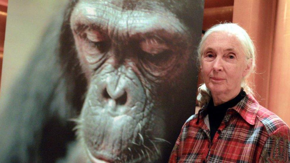 Džejn Gudol i portret šimpanze