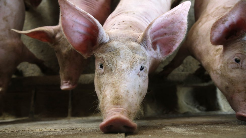 A pig staring into the camera