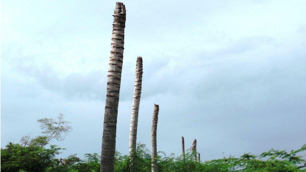 Dead palm trees in Antigua - December 2015