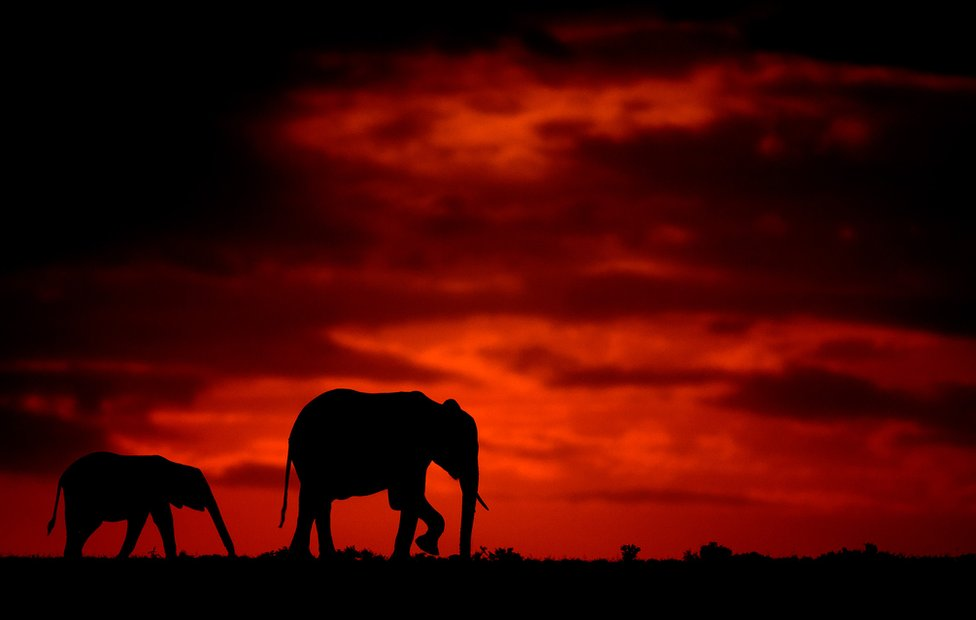 Siluete slonova