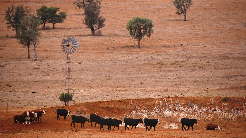 Cattle walk past an empty dam and an old windmill in a drought-affected paddock in New South Wales