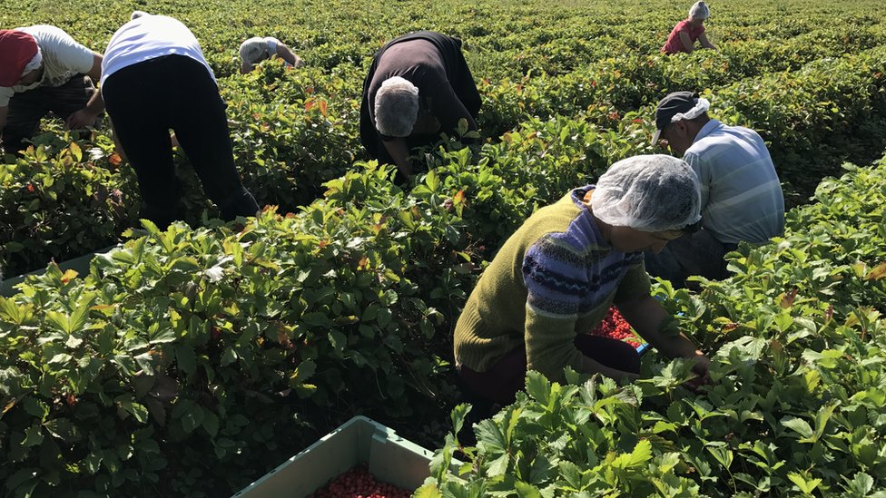Several fruit pickers bending over