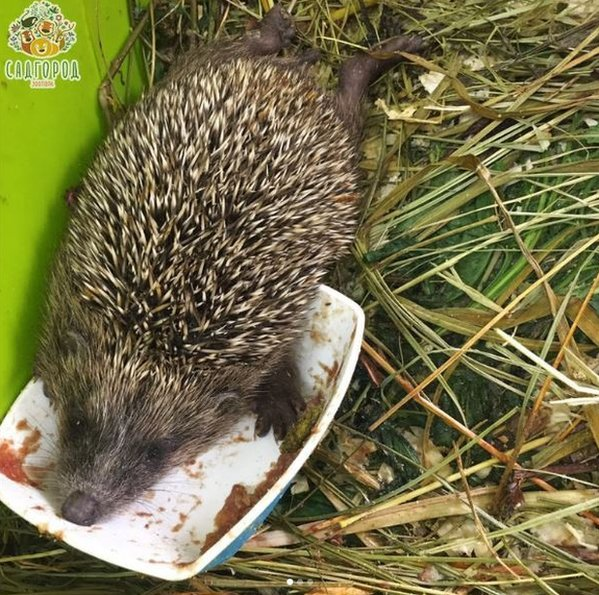 A picture of a hedgehog asleep in his food bowl from the Sadgorod Zoo's Instagram feed