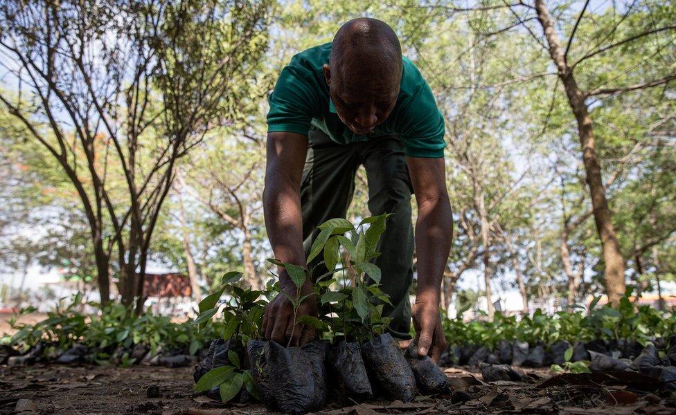 رجل يحصى الأشجار التي ستوزع للزراعة.