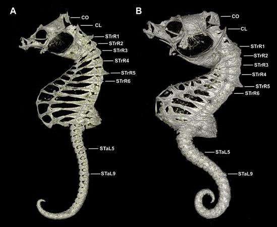 Esqueletos de Hippocampus japapigu e Hippocampus pontohi.