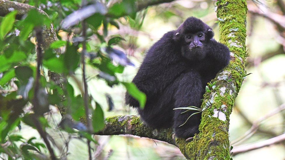Male Hainan Gibbon