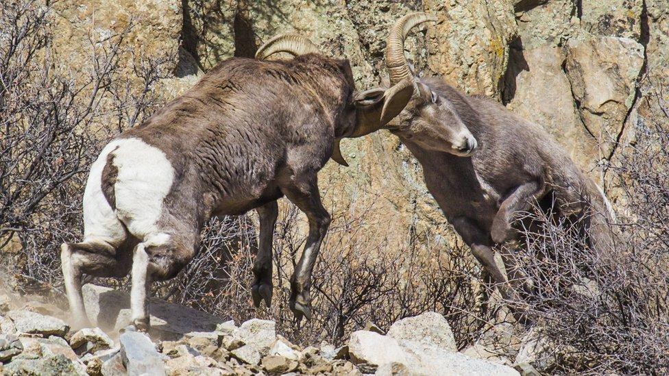 Headbutting goats