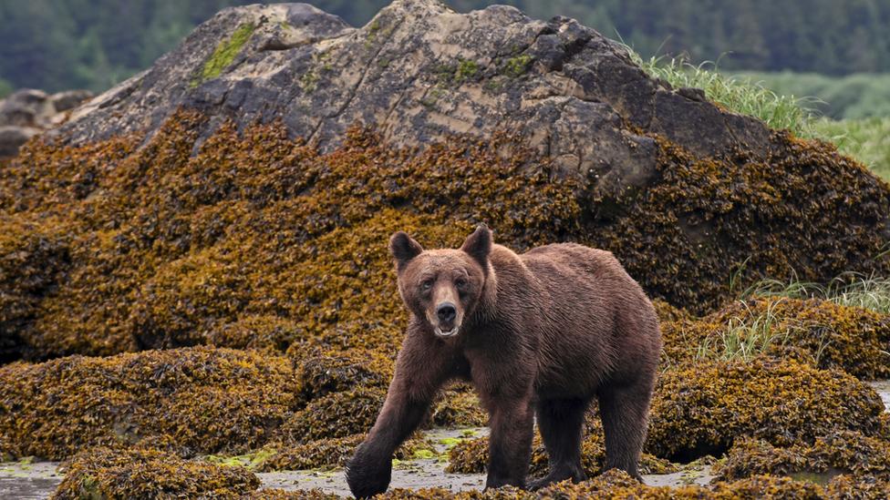 Grizli u Kanadi