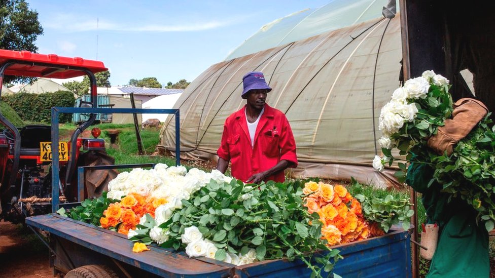 Workers load roses to be dumped at a flower farm in Kenya