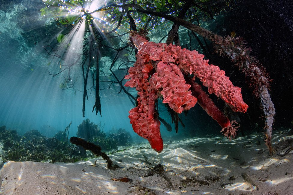 An underwater photo of sponges around mangrove roots