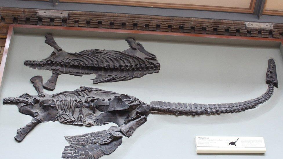 El esqueleto fosilizado del dinosaurio nombrado en honor de David Attenborough