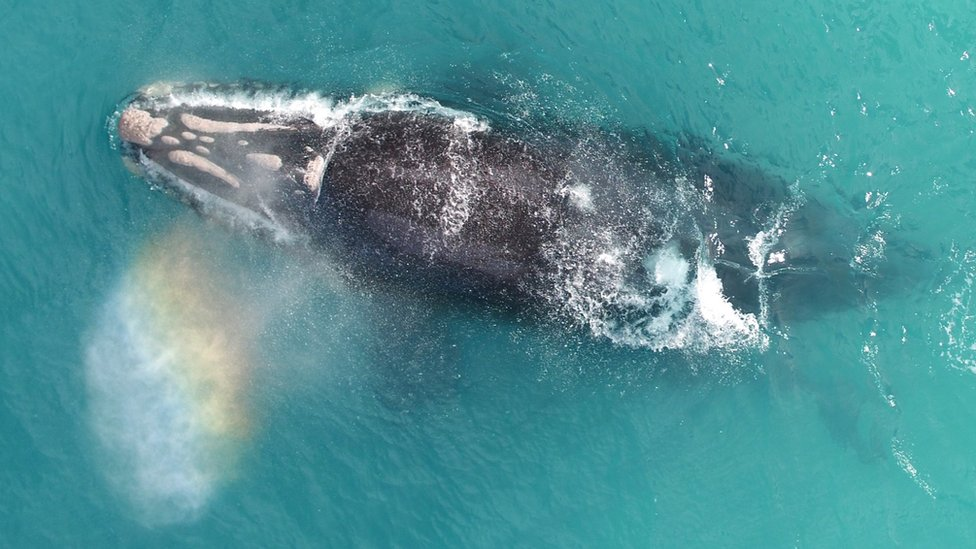 A rainbow emerges from after a blast from the blowhole of a southern right whale