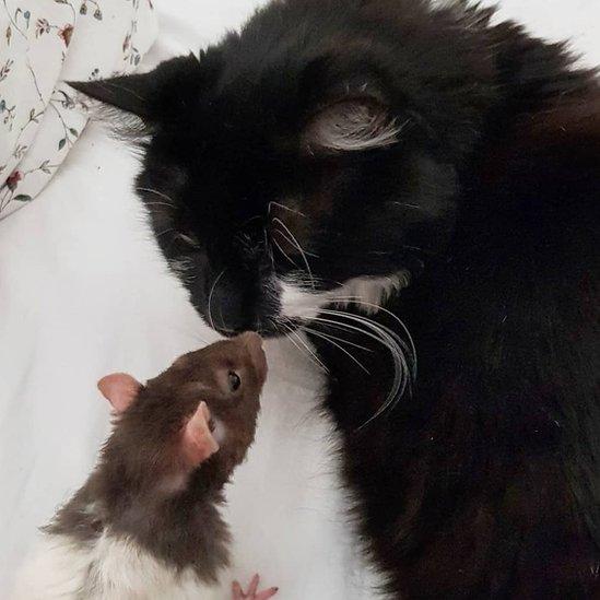 Medžik mačka vegetarijanka i pacov