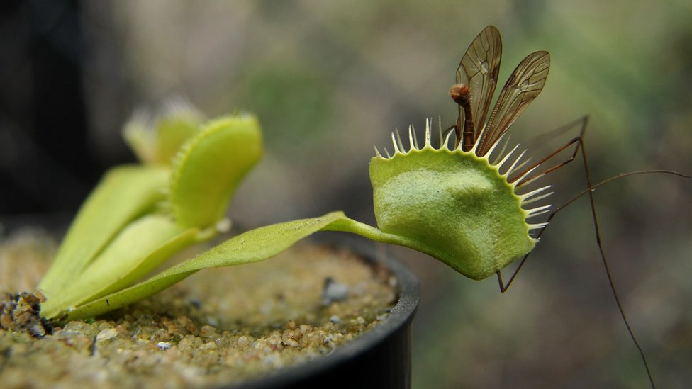 A Venus fly trap with an insect it has trapped
