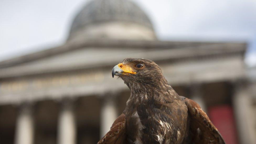 哈里斯鷹是一種社區鳥類,以擅長與人類合作著稱。