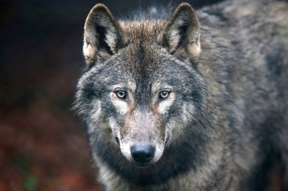 A male grey wolf from Scotland now living in Bristol