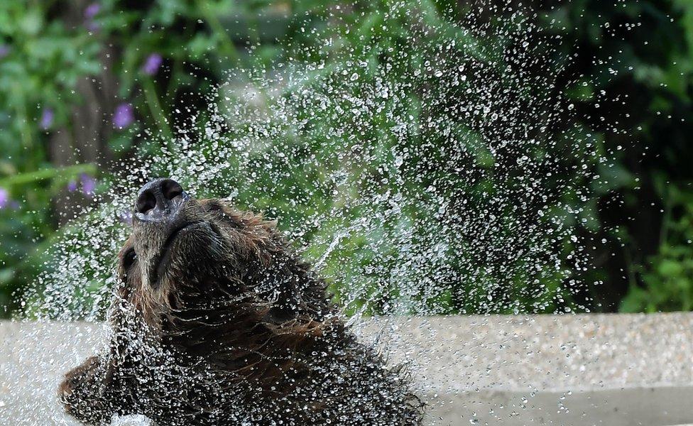 دب صغير يلعب في الماء في حديقة حيوانات بيوباركو Bioparco في روما.