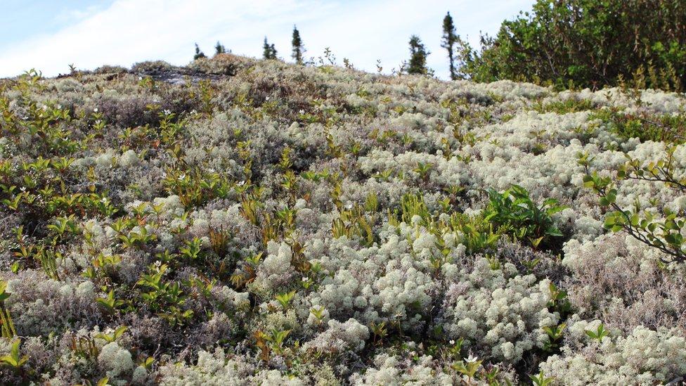 El Ártico canadiense está plagado de musgos y líquenes.