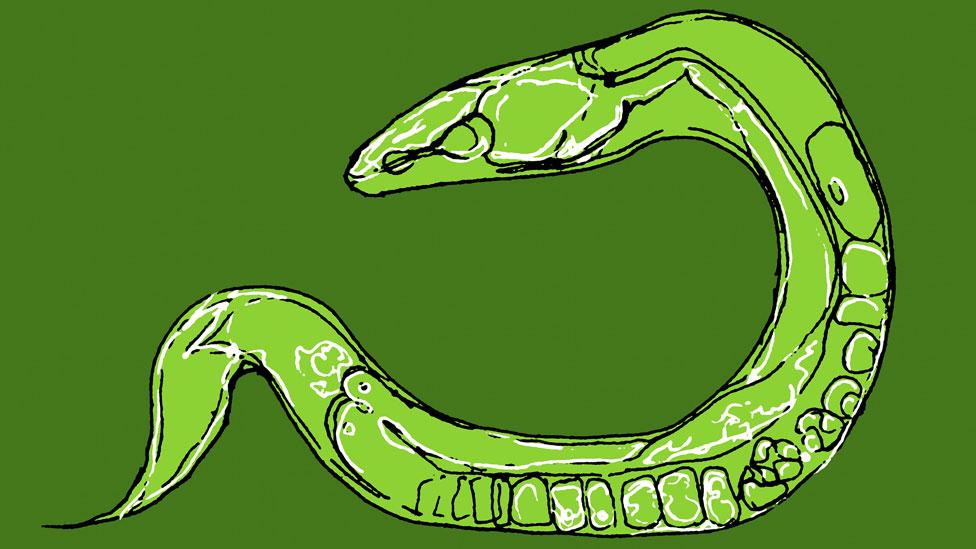 Dibujo de C. elegans