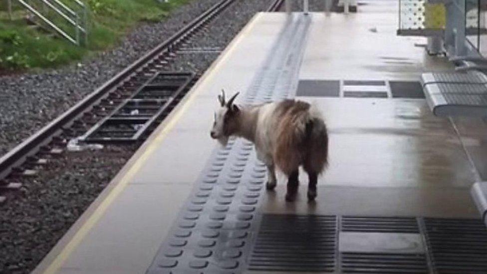 Missing goat Belle found at Sale tram stop