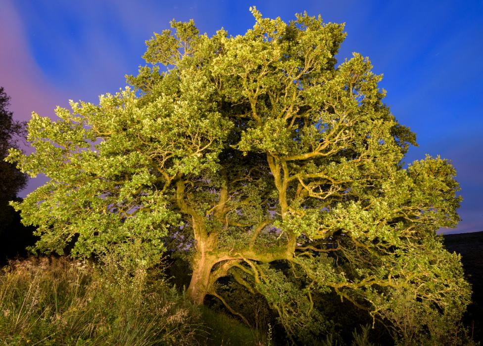• The Greenock Cut Oak