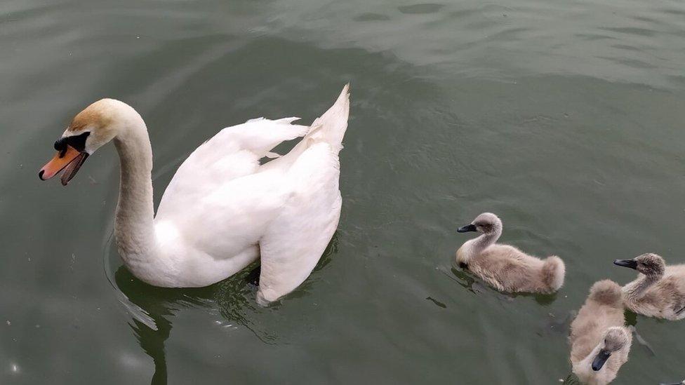 Labudica sa mladuncima