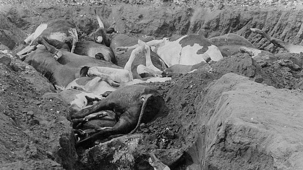 Rinderpest atau penyakit ternak membunuh sebagian besar ternak yang terinfeksi.