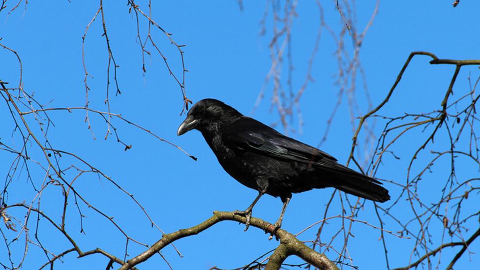 烏鴉和其他鴉科鳥類能使用工具覓食,甚至還喜歡拉扯其他動物的尾巴。