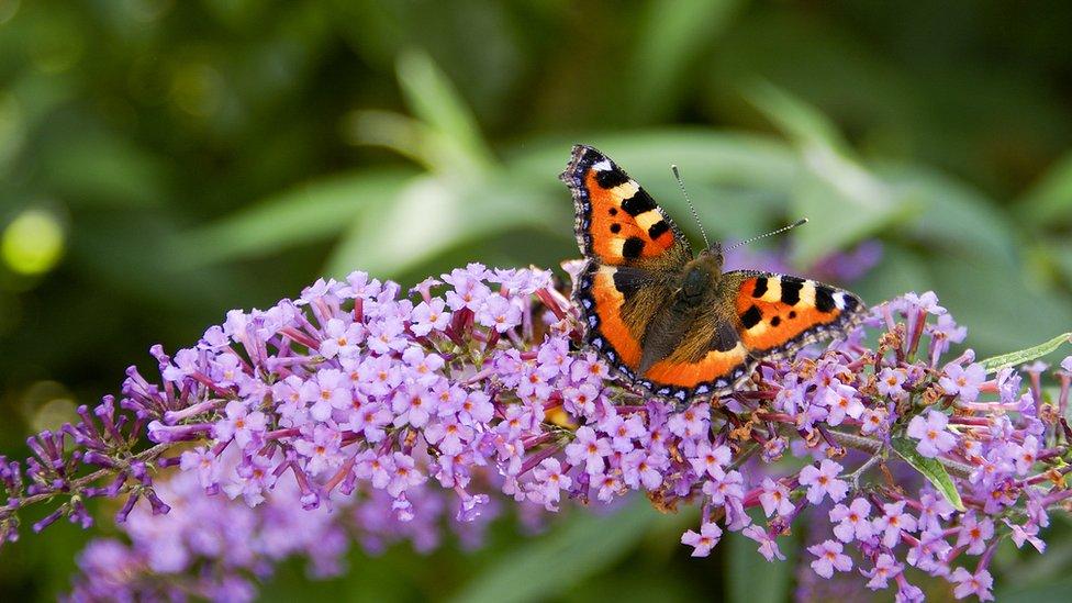Mariposa posada en unas flores lilas.