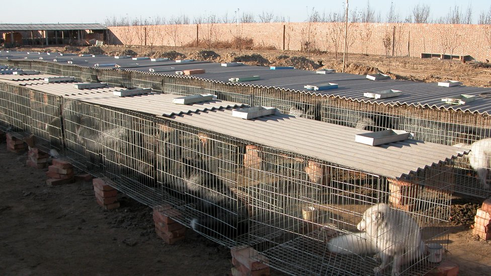 Legal captive breeding of fox in northern China