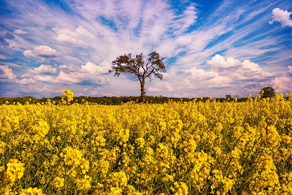 Tree and field of rape seed