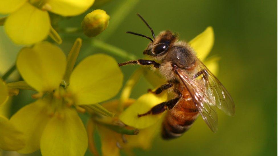 Honeybee in Bangladesh