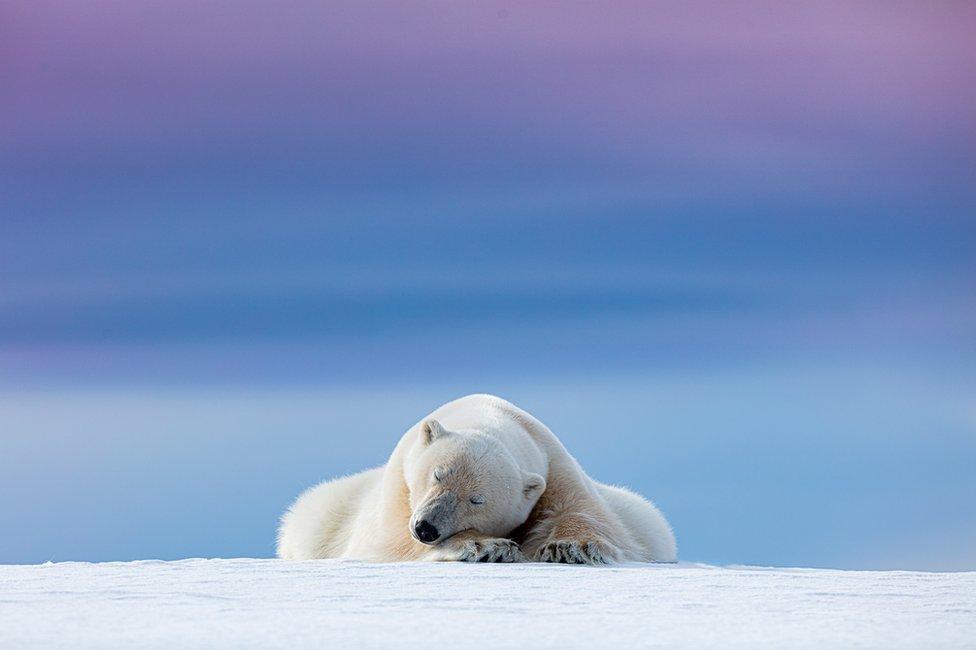 دب قطبي نائم على الثلج