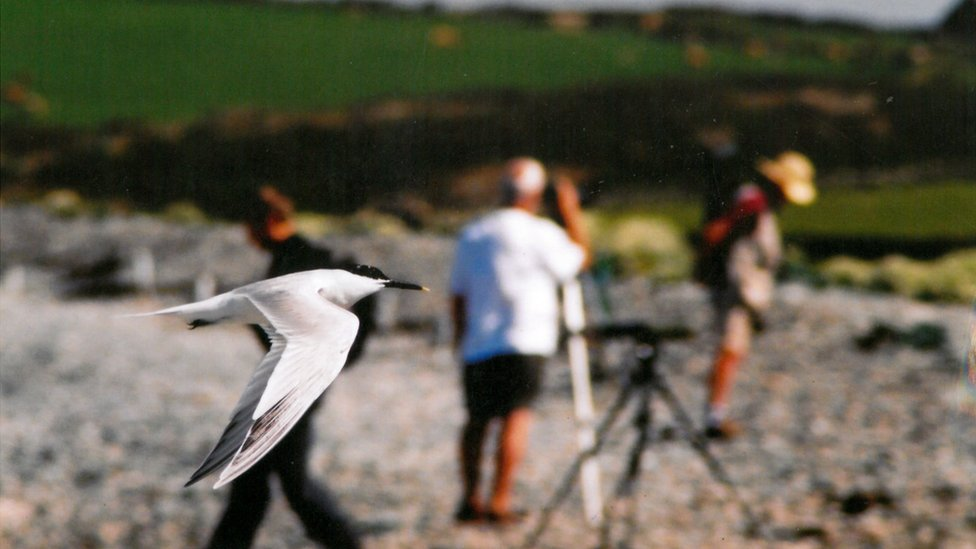 Sandwich tern flies past bird watchers looking the other way at Cemlyn Bay