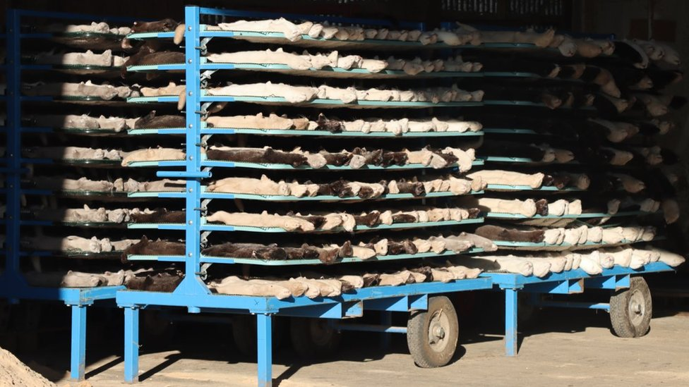 Mink pelts on a rack in Denmark