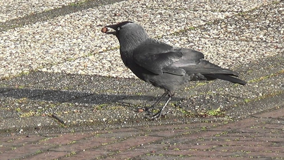 叼著堅果的烏鴉