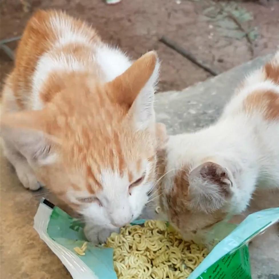 Mačke jedu nudle