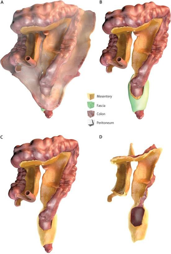 The structure of the new organ, called the mesentery
