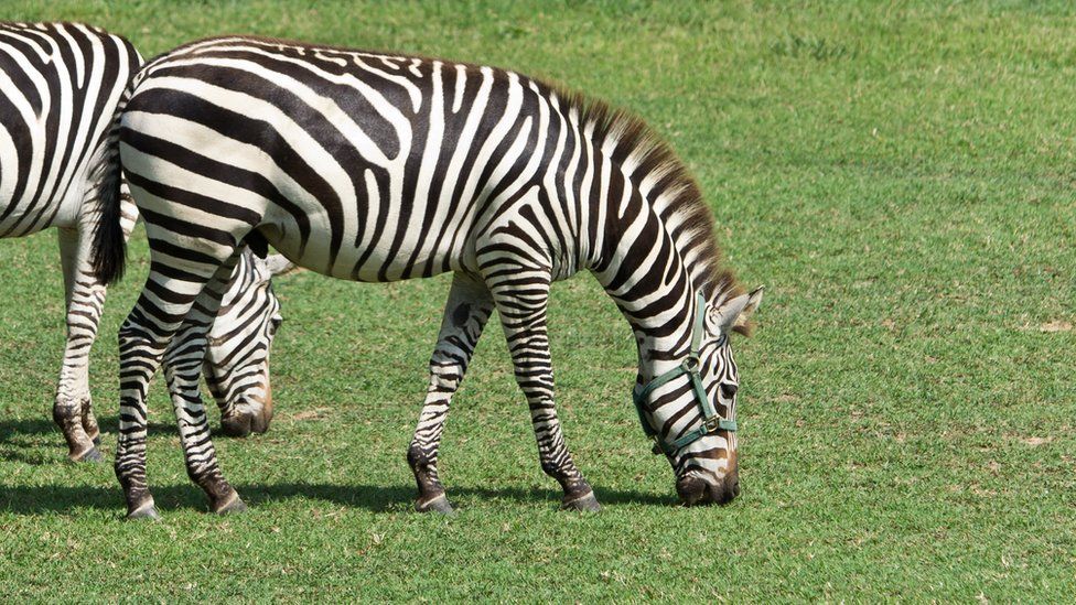 Zebras at Maryland farm