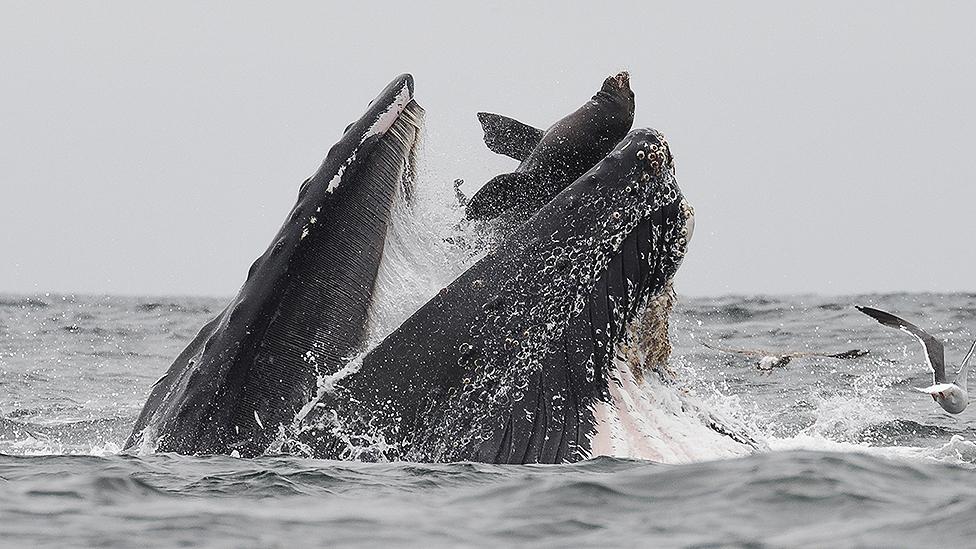 Whale swallows sea lion