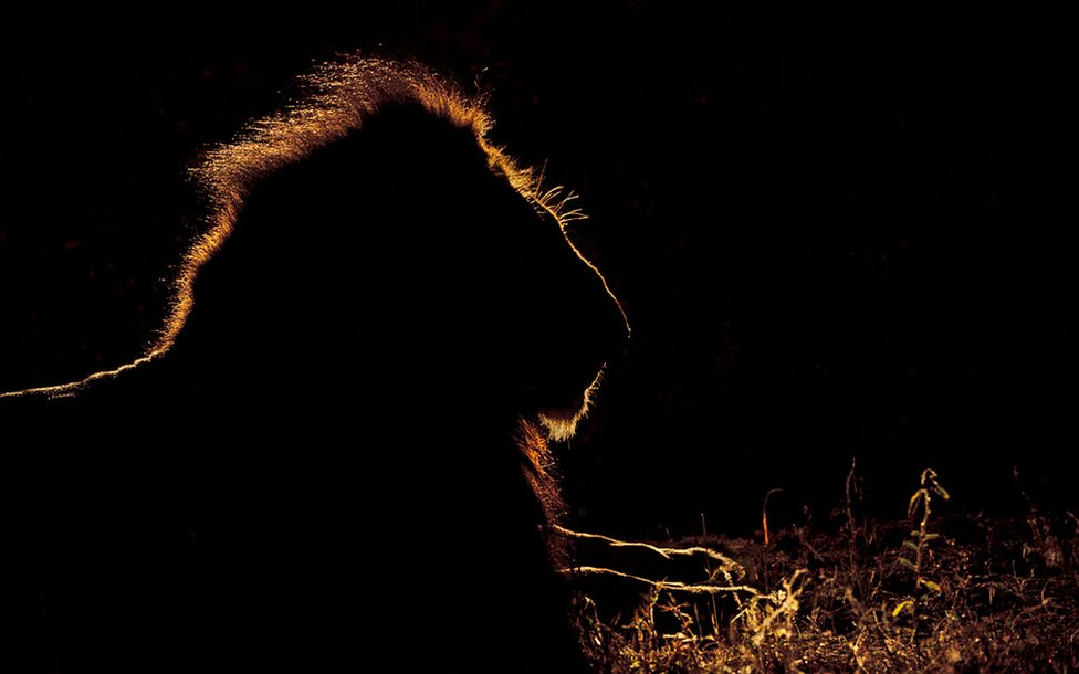 Silhouette photo of a lion