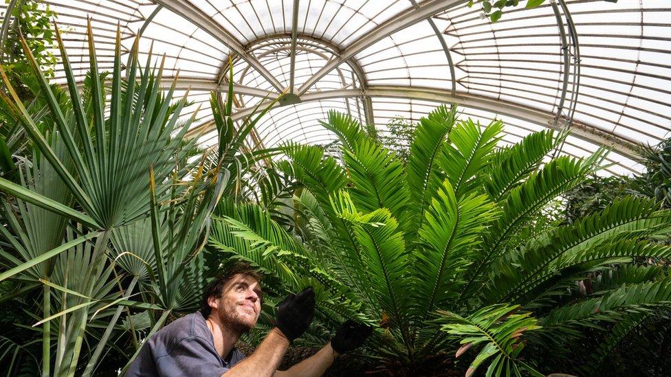 邱園中最老的鐵樹Encephalartos altensteinii(右),1775年從南非到英國至今一直生活在邱園裏。