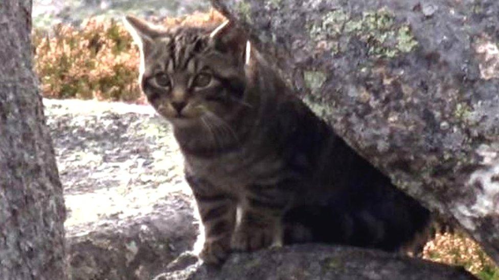 'Wildcat kittens' filmed in Cairngorms