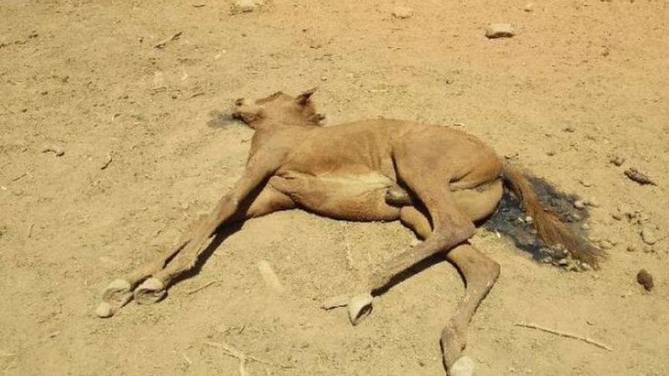 jedan od stradalih konja